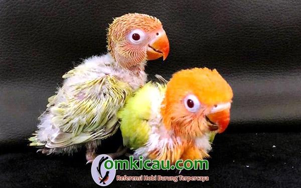 anakan lovebird warna