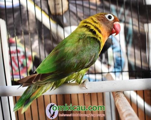 Lovebird Luton