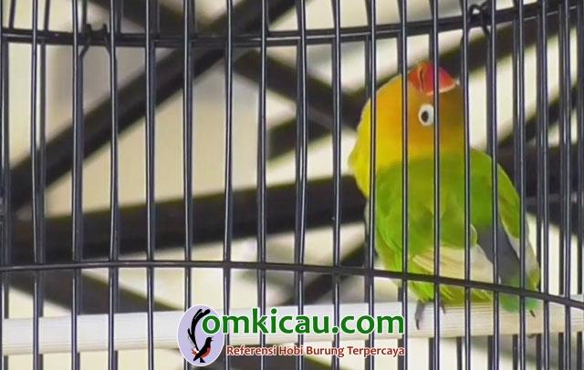 lovebird Utun