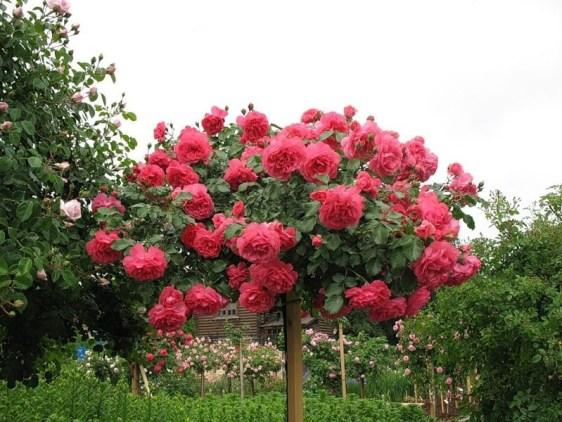 роз обрезка