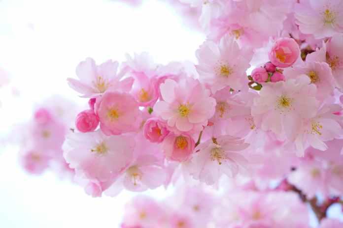 代々木公園の桜 お花見の場所取りおすすめや屋台場所、トイレ穴場スポットは?
