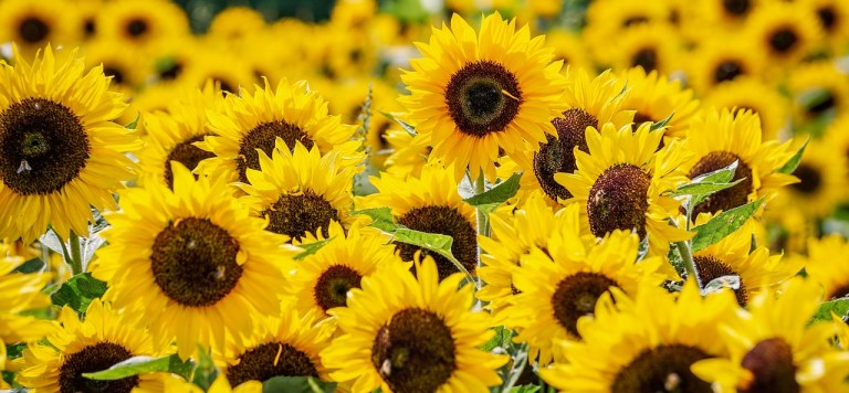 Showa Kinen Park sunflowers in the summer