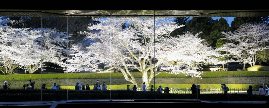 Cherry Blossoms at National Museum of Japanese History