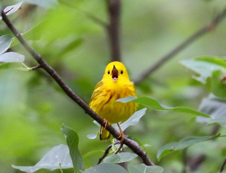 Singing-yellow-bird