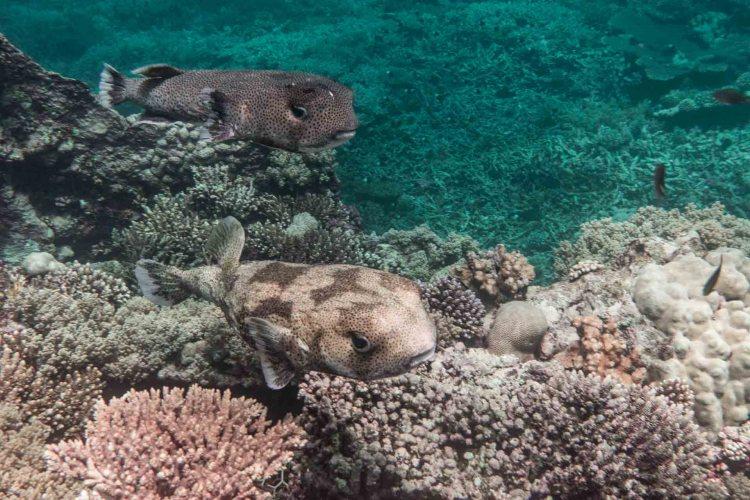 Igelfischpärchen am Korallenriffe