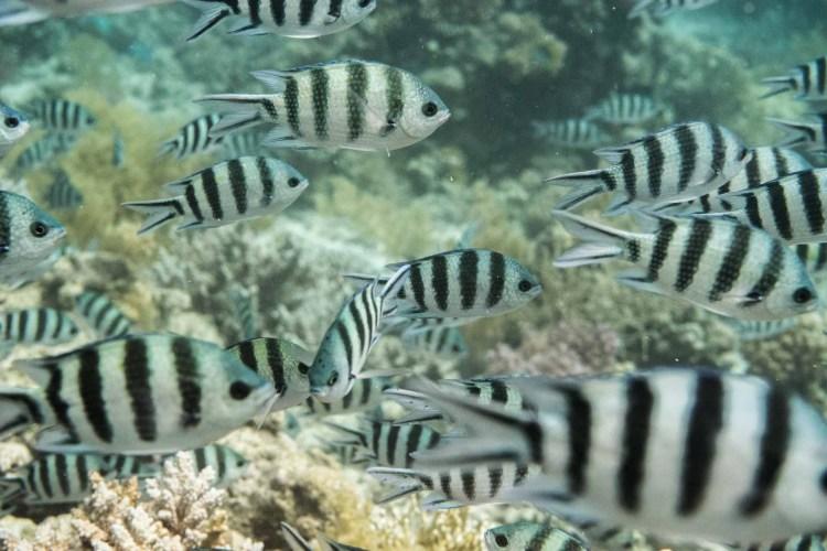 Fischschule im Roten Meer