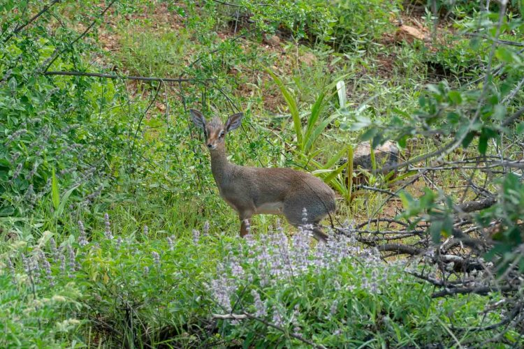 DikDik in Tsavo West