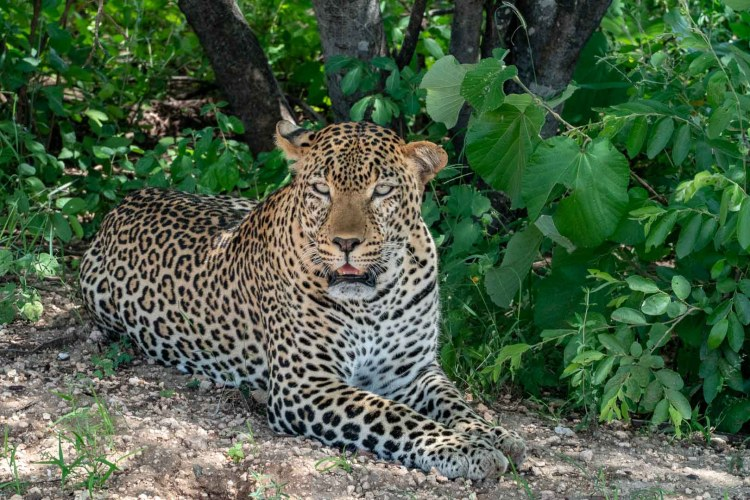 Leopard in Tsavo West