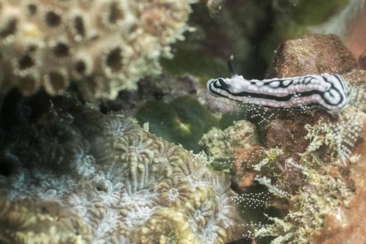Foto einer Nacktschnecke im Indischen Ozean Kenia