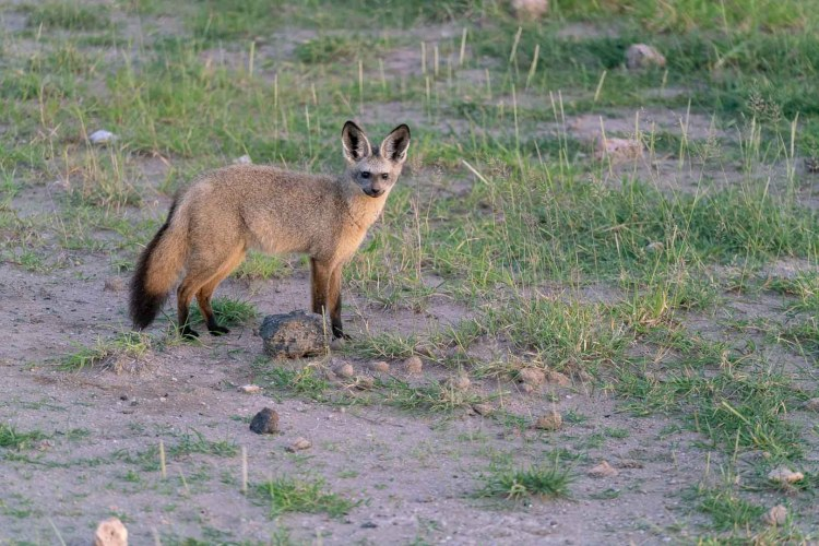 Löffelhund in Amboseli