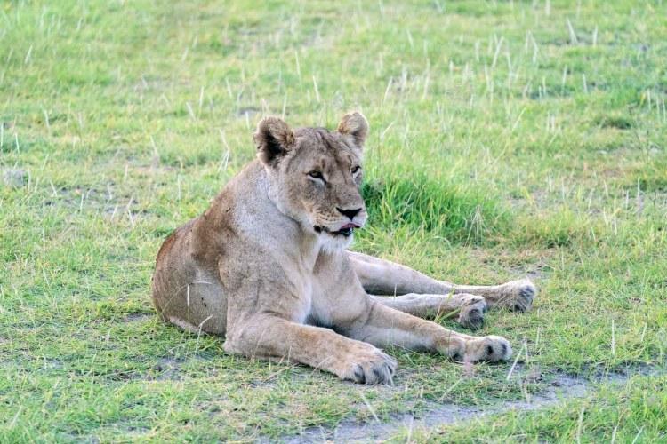 Löwin liegt im Gras in Amboseli