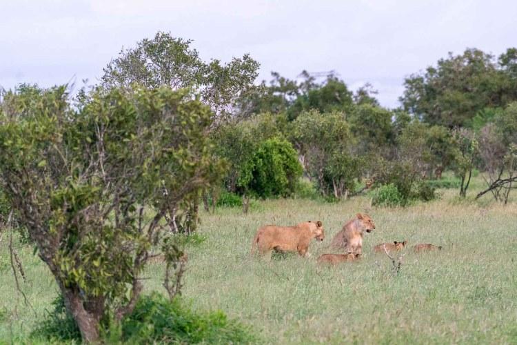 Löwen mit Jungen