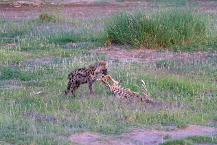 Fleckenhyäne nagt an einem Skelett in Amboseli