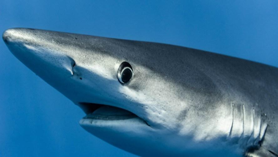 Nahaufnahme Blauhai