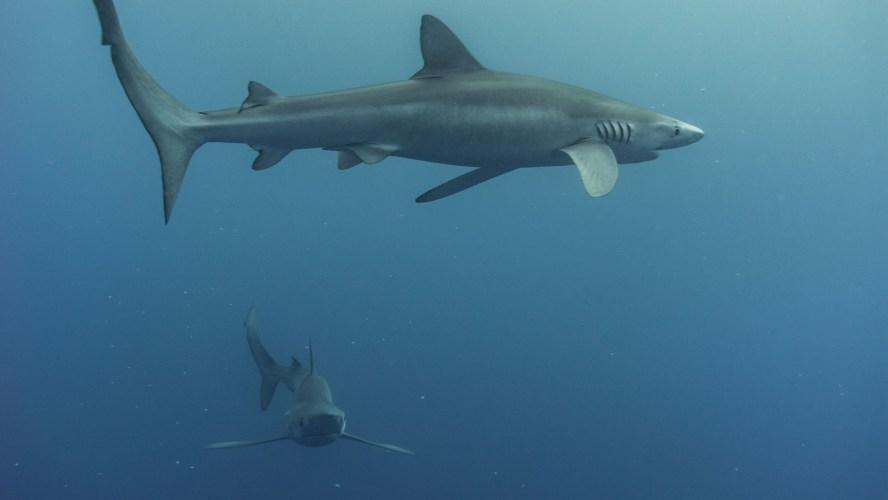 Bild von zwei Blauhaien