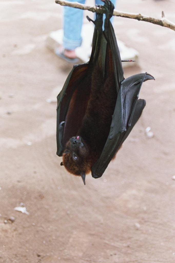 murciélago-Bali