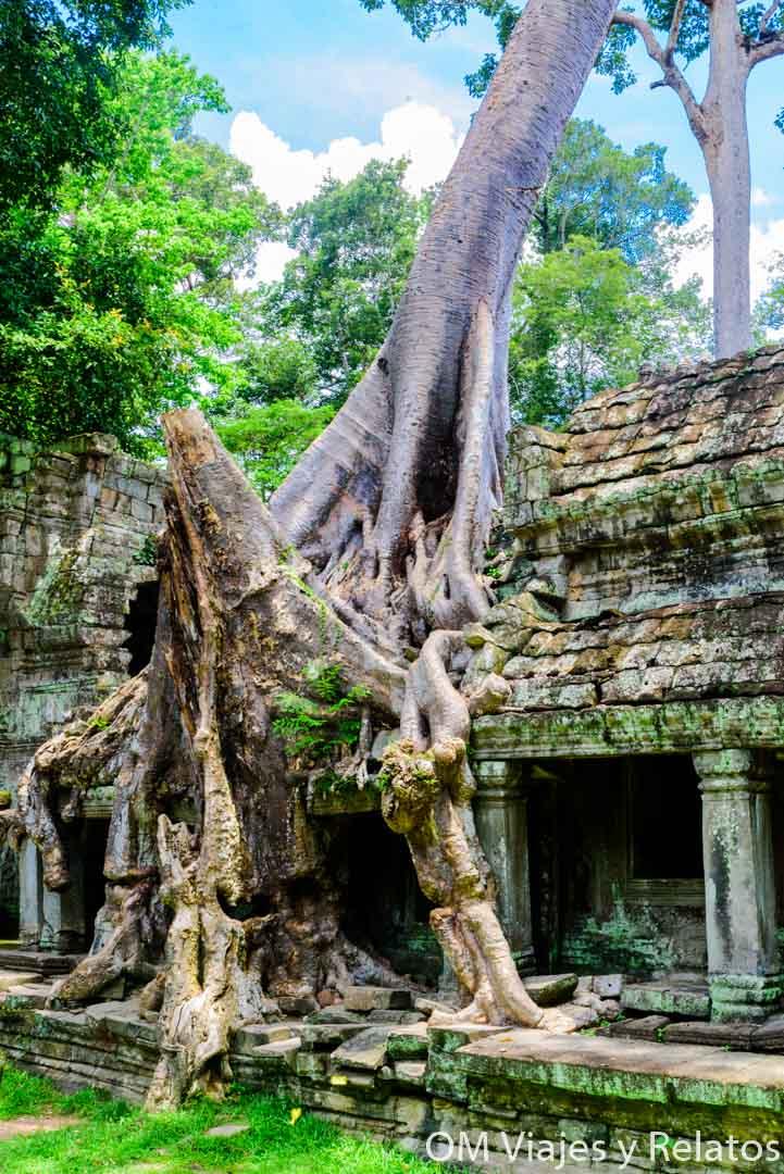 Los árboles de Angkor