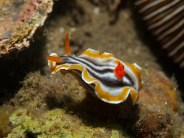 Chromodoris magnifica (nudibranch), flapping its mantle. Image credit: Elias Levy (https://www.flickr.com/photos/elevy/6851464508)