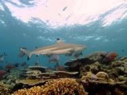 Black-tip reef shark. Image credit: Daniel Kwok (https://www.flickr.com/photos/danieldanielkwok/16103741025)