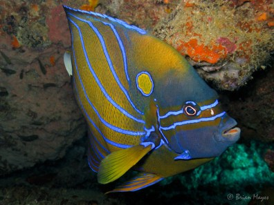 Blue-ring angelfish. Image credit: Brian Mayes (https://www.flickr.com/photos/brianmayes/7604751856)
