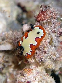 Chromodoris fidelis (nudibranch). Image credit: ilanbt (http://www.tapuz.co.il/communa/CommunaAlbums.asp?pagenumber=2&CommunaId=152&AlbumId=445)