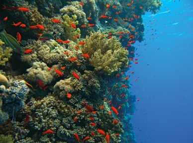 Coral wall. Image credit: Woods Hole Oceanography (http://www.whoi.edu/page.do?pid=80696&i=6504)