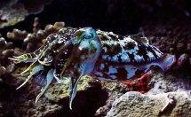 Cuttlefish. Image credit: MadDog (http://www.messersmith.name/wordpress/2010/06/09/cuttlefish-hunger/)