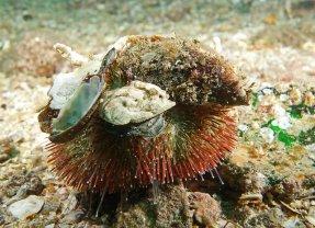 Decorator (or collector) urchin. Image credit: John Turnbull (https://www.flickr.com/photos/johnwturnbull/14924336925)