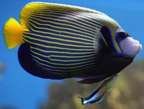 Emperor angelfish (& bluestreak cleaner wrasse). Image credit: invaluables (https://www.flickr.com/photos/56284543@N08/5548182115/)