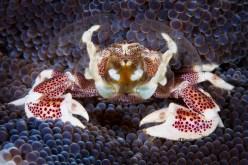 Porcelain crab. Image credit: Martin-Klein (https://www.flickr.com/photos/little81/8345554752/)