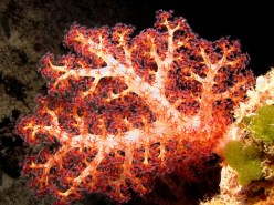 Soft coral. Image credit: Florent Charpin (http://reefguide.org/Dendronephthyaspp.html)