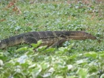 monitor lizard in Lumphini Park, Bangkok