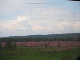 Les pins de Sibérie