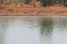 Cela ressemble à un tronc d'arbre flottant dans l'eau, mais ce sont bien des crocodiles, aboslument immobiles.