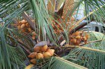 King coconut à l'arbre