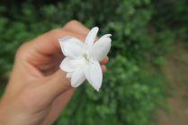 Fleur de Jasmin, à mélanger au thé