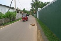 Des chiens errants, affalés sur la route. Rien ne les pertube, mais ils ne sont pas méchants