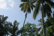 Un cueilleur de noix de coco.