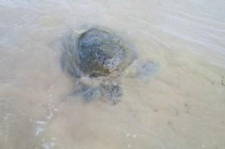 Une tortue ! Leur camouflage est vraiment bien fait... à quelques mètres on a du mal à les distinguer
