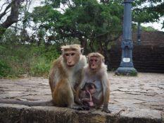 Famille de macaque-toque