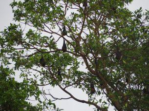 Des chauve-souris, impressionnantes par la taille, dans un arbre en plein jour