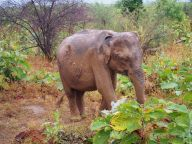 Notre premier pachyderme, un éléphanteau !