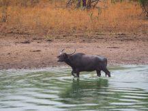 Les buffles, après avoir fait trempette avec les crocodiles, s'en vont vacquer à leurs occupations