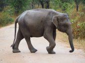 L'éléphanteau traverse la piste