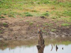 """Probablement deux """"common kingfisher"""" ou Martin-pêcheurs d'Europe"""