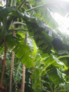 Régime de bananes, à notre guesthouse