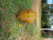 """Petite noix de coco deviendra """"king"""" (on appelle ces noix des """"king coconut"""")"""