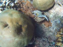 "Un ""pufferfish"", Jemeluk, Amed"