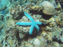 Une étoile de mer bleue (Linckia laevigata), Jemeluk, Amed
