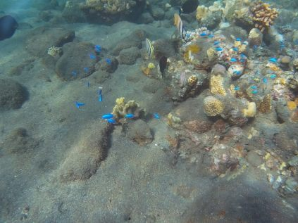 Petits poissons au bleu magnifique... Difficile de les approcher